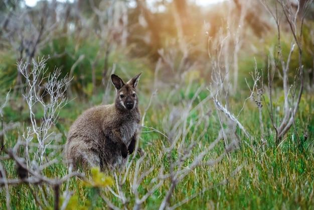 Kangoeroe in de natuur