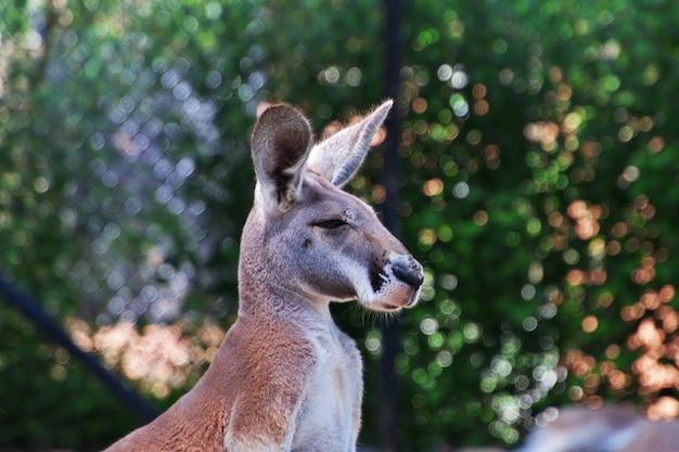 Kangoeroe in de taronga-dierentuin in sydney, australië