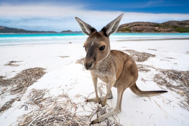 Kangoeroe in lucky bay in cape le grand national