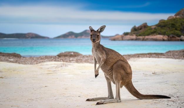 Kangoeroe in lucky bay in het cape le grand national park