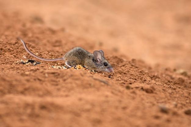 Kangoeroe muis buitenshuis zuidwesten