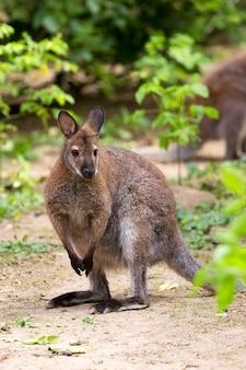 Kangoeroe wallaby met rode hals op een open plek
