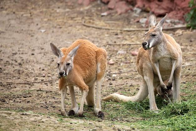 Kangoeroes op de open plek