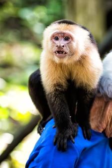 Kapucijnaap zittend op mannelijke schouder in honduras op zonnige zomerdag op natuurlijke onscherpe achtergrond. wildlife, wilde dieren en natuurconcept