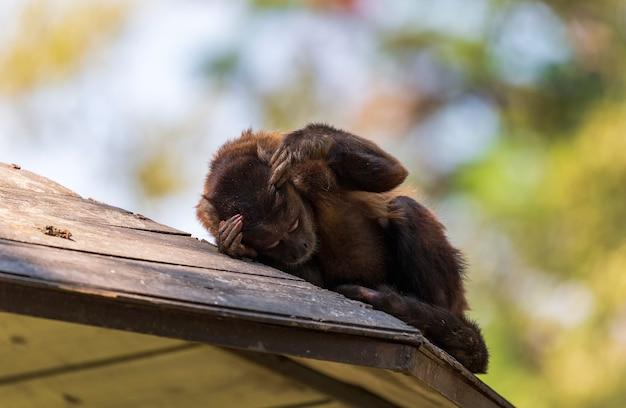 Kapucijner babyaapje. een grappige kleine makaak die een dutje doet met zijn hoofd op zijn hand en kijkt opzij. hij ligt op de bovenkant van het houten dak van het huis. slaperige aap. bruine kapucijnen. reis