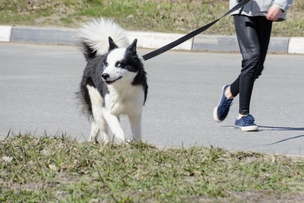 Karelische berenhond. veilige hondenuitlaatservice. zelfs een grote hond moet aangelijnd zijn.