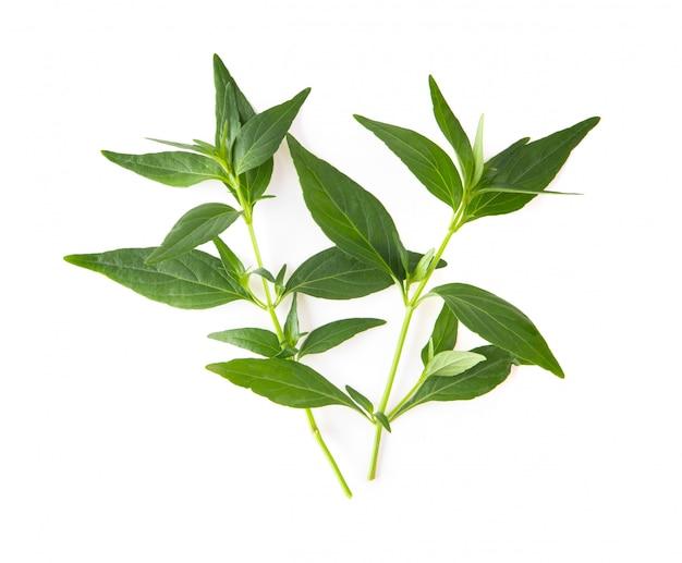 Kariyat of andrographis paniculata groene bladeren die op een wit worden geïsoleerd