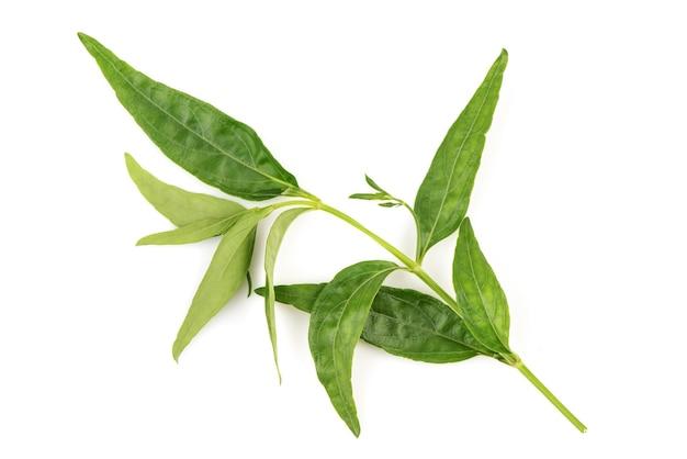 Kariyat of andrographis paniculata, groene bladeren geïsoleerd op wit