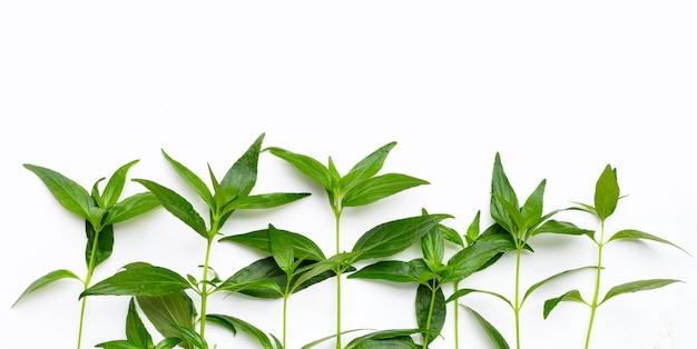 Kariyat of andrographis paniculata groene bladeren op witte achtergrond.