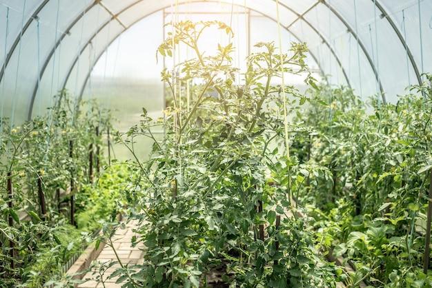 Kas met groene tomatenplanten. concept van het kweken van natuurlijke gezonde biologische groenten.