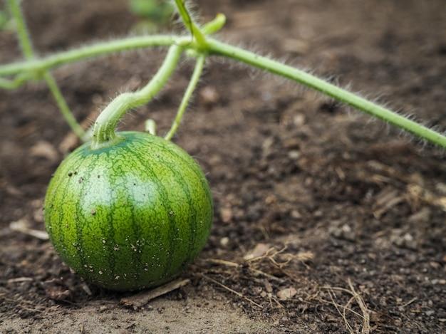 Kas teelt van watermeloen. kleine watermeloen rijpt in de tuin.