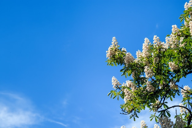 Kastanjeboom met bloeiende lente bloemen tegen blauwe hemel, seizoensgebonden florale achtergrond