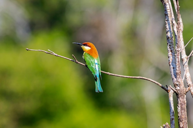 Kastanjekopbijeneter merops leschenaulti mooie vogels die op tak neerstrijken