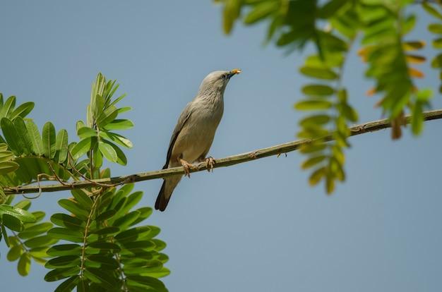 Kastanjestaart starling-vogel die (sturnus-malabaricus) zich op de tak bevindt