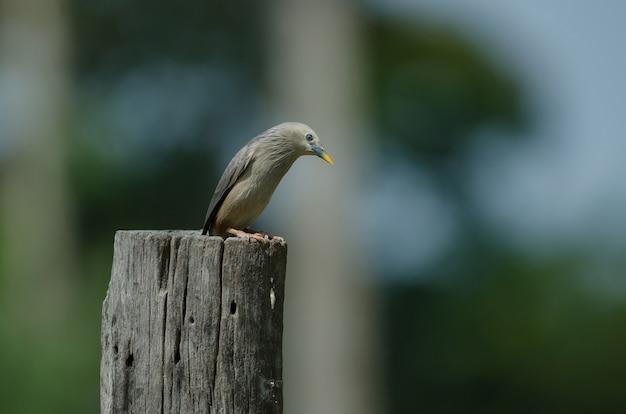 Kastanjestaart starling-vogel (sturnus-malabaricus) die zich op de tak in aard, thailand bevinden