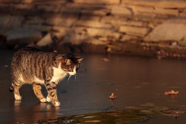 Kat bij bevroren water die zeestraat oversteekt. leuk huisdier. aanbiddelijk kattenportret op ijs. jonge straatkat in park, laat in de herfst. een mooi katje buitenshuis, grappig dier