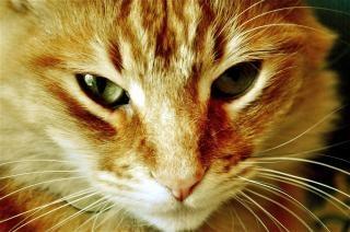 Kat close-up dierenkop