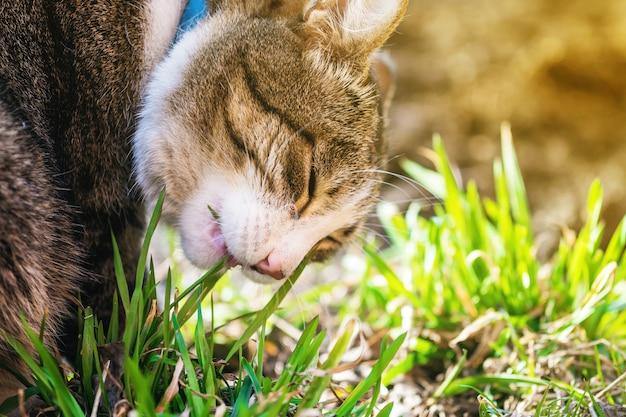 Kat die gras in zonlicht eet