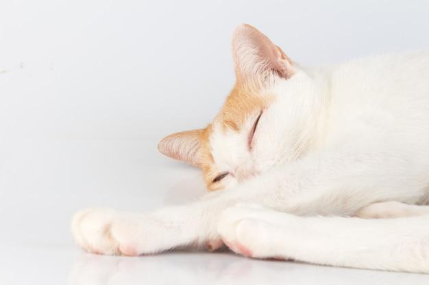 Kat die op witte achtergrond wordt geïsoleerd