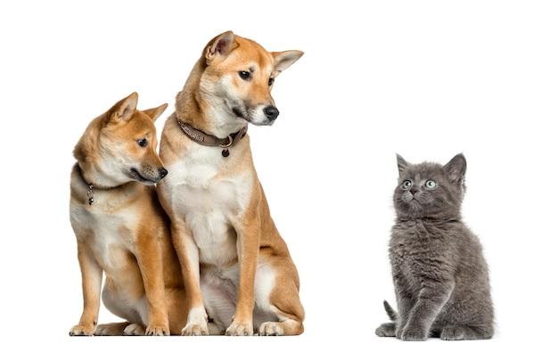 Kat en honden kijken elkaar aan, geïsoleerd op wit