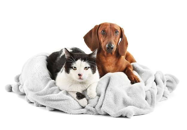 Kat en teckel op grijze ligstoel, geïsoleerd op wit.