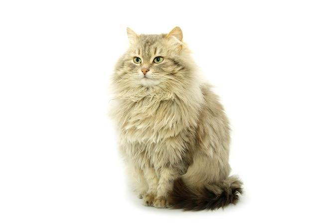 Kat geïsoleerd op een witte achtergrond