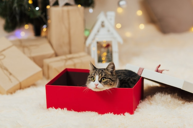 Kat gluren uit rode geschenkdoos.