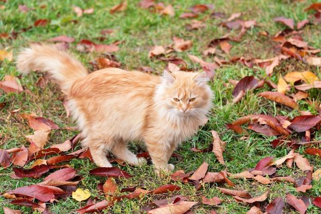 Kat in herfst park. rood katje die op kleurrijke gevallen bladeren lopen openlucht.