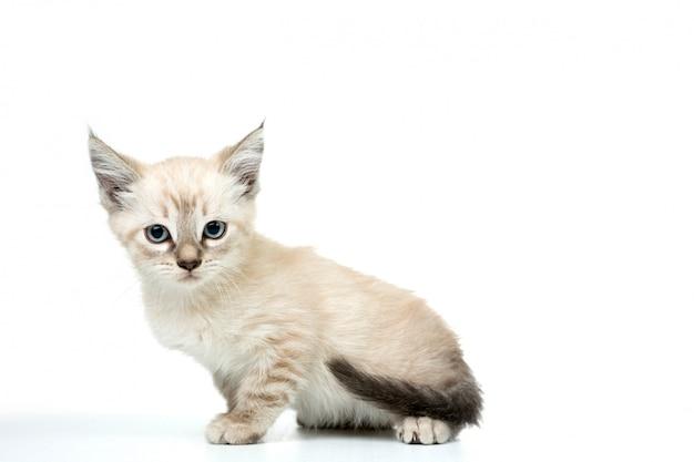 Kat in wit geïsoleerd