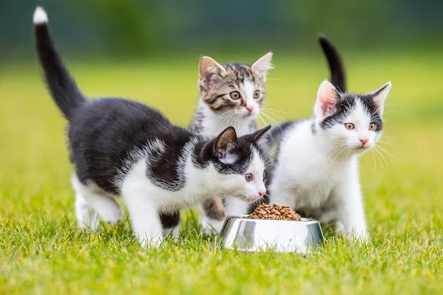 Kat. leuk klein katje met een kom korrels thuis of in de tuin.