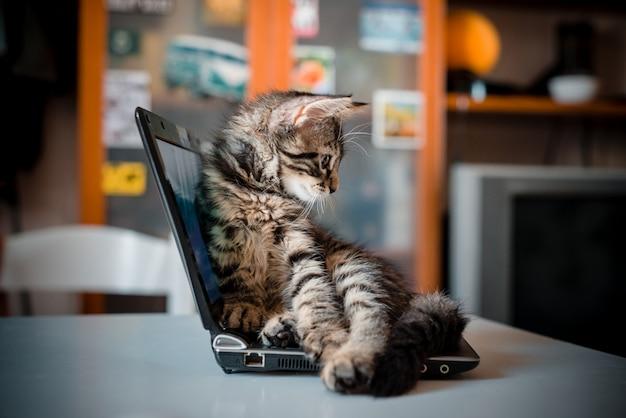 Kat liggend op de laptop