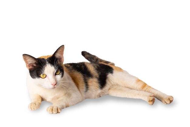 Kat liggend op geïsoleerd met uitknippad