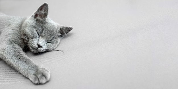Kat liggend op grijze achtergrond,