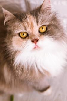 Kat met ashy-gemberbont kijkt omhoog. mooi familiehuisdier met pluizige witte borst en gele ogen, close-up portretweergave van bovenaf