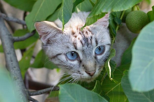 Kat met blauwe ogen verstopt in bomen