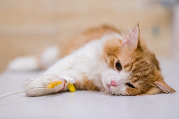 Kat met druppelaar op tafel in veterinaire kliniek