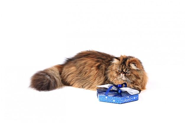 Kat met giftdoos op witte achtergrond wordt geïsoleerd die. driekleurige perzische kat