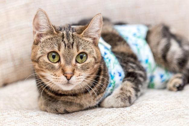 Kat met pleisters herstelt na de operatie en ziet er geamuseerd uit