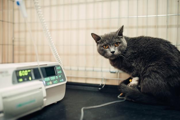 Kat op een infuus na een operatie in de kliniek
