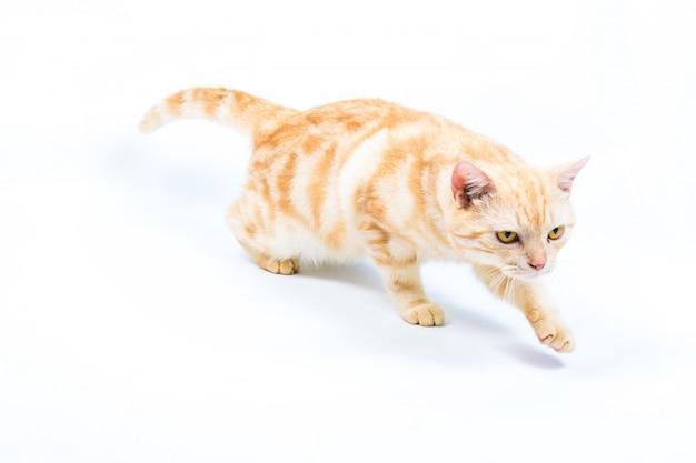 Kat op witte achtergrond