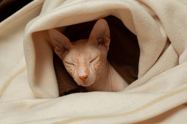 Kat van het ras de sfinx-close-up. sphynx kat in een beige plaid. roze sfinx. haarloze kat. foto van een huisdier. de kat rust thuis.