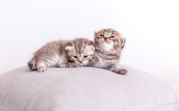 Katkatten op het kussen.