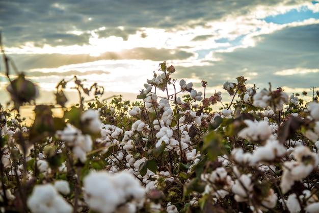 Katoenen de textuurachtergrond van de gebiedsaanplanting