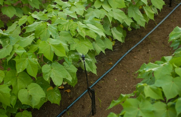 Katoenplantage met irrigatiesysteem.
