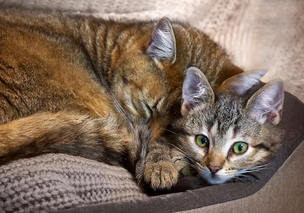 Kattenmoeder slaapt met haar gestreepte katbaby in knus bed, lieve huisdieren.