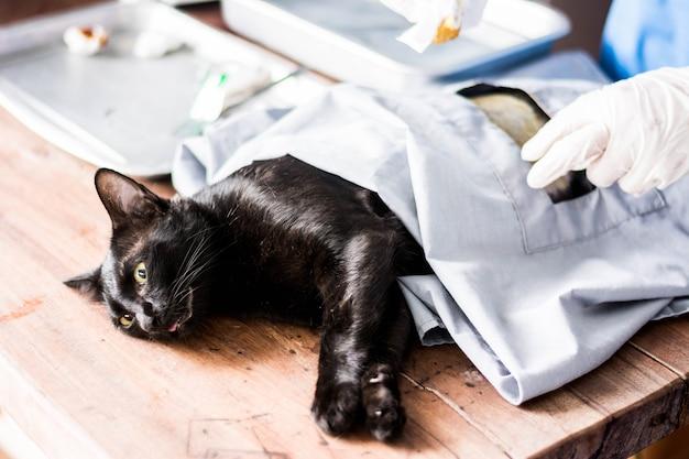 Kattenoperatie onder anesthesie bij sterilisatie en chirurgische sterilisatie.