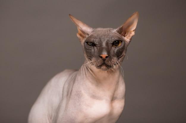 Kattenras sfinx op een grijze