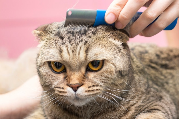 Kattenverzorging, wol kammen. express vervellen. mooie kat in een schoonheidssalon. dieren verzorgen, haren kammen. meester in het verzorgen van katten.