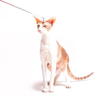 Kattestuk speelgoed krabbel op het hoofd van de cornwall rexkat op witte achtergrond