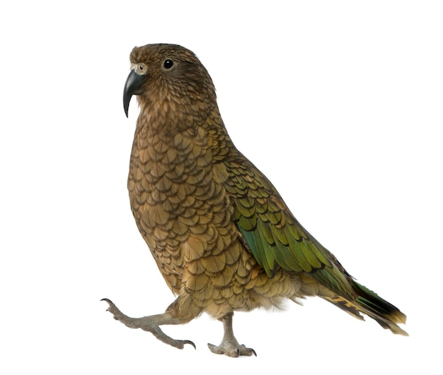Kea, nestor notabilis, een papegaai, staande voor een witte achtergrond